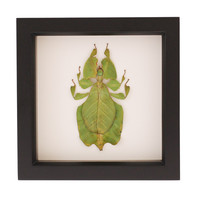 insect shadowbox | walking leaf for sale | Bug Under Glass