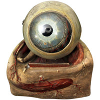 A Fine 19th Century Anatomical Model of the Eye