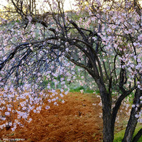 """""""Flowering Almond"""". At Sunset by Guido Montañés"""