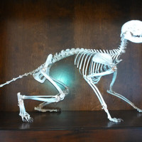 real bone articulated raccoon skeleton skull veterinary reference taxidermy natural
