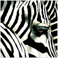 Do Zebras Dream in Black and White Canvas Wall Art