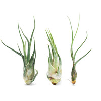 Dreamscape Air Plants