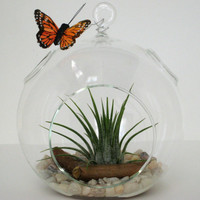 Hanging Globe Terrarium Kit with Air Plant and Butterfly