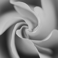 Black and White Rose, Flower Photography, Macro Photo, Black and White Photography, 8 x 10 Fine Art Photography
