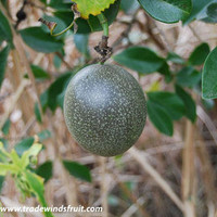 Frederick Passion Fruit Seeds (Passiflora edulis) + FREE Bonus 6 Variety Seed Pack - a $30 Value!
