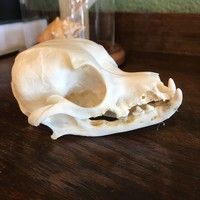 Small Domestic Dog Skull