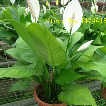 Spathiphyllum Seeds, Potted Balcony, Planting is simple, budding rate of 95%, radiation absorption, mixed colors 100PCS