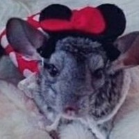Minnie Mouse modeled by Dinner the Chinchilla