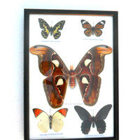 5 Real Butterfly Butterflies Framed Display Rare Insect Taxidermy frame