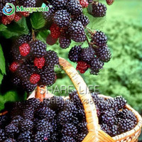 Nutritious Pre-Stratified Jumbo Thornless Blackberry Seeds Juicy Sweet Healthy Hruit DIY Home Garden Fruit Seeds - 100PCS