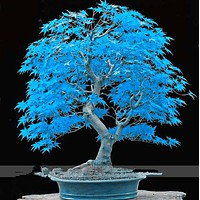 Very Rare American Blue Maple Bonsai Tree Seeds, 20 Seeds/Pack, Rare Japanese Maple Tree Seeds DIY potted plants for Home Garden