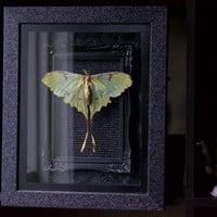 African Moon Moth - Museum Glass Shadow Frame Display - Insect Bug Oddity Curiosity Art