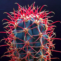 Red Barrel Cactus, Ferocactus gracilis, 25 seeds, Ferocactus coloratus, glowing spines,  zones 9 to 11, desert garden or windowsill